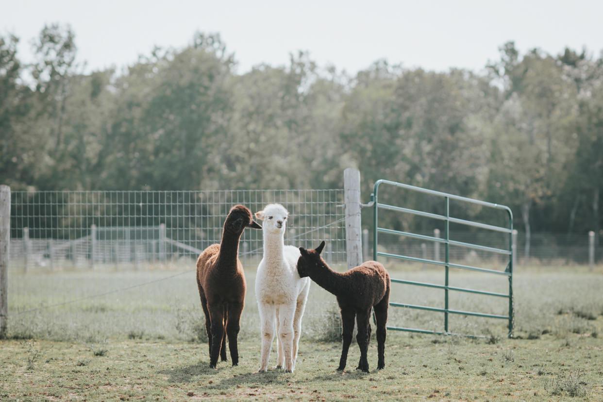 Alpaca Farm in Ontario