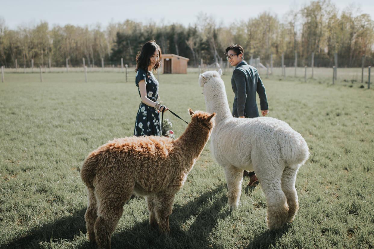 Toronto Alpaca Farm Engagement
